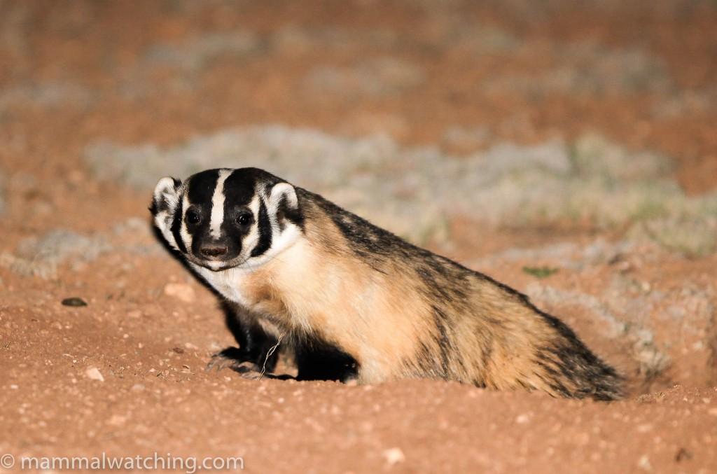 2010-American-Badger (1)
