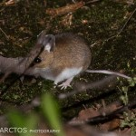 Deer-Mouse-Maybe-2