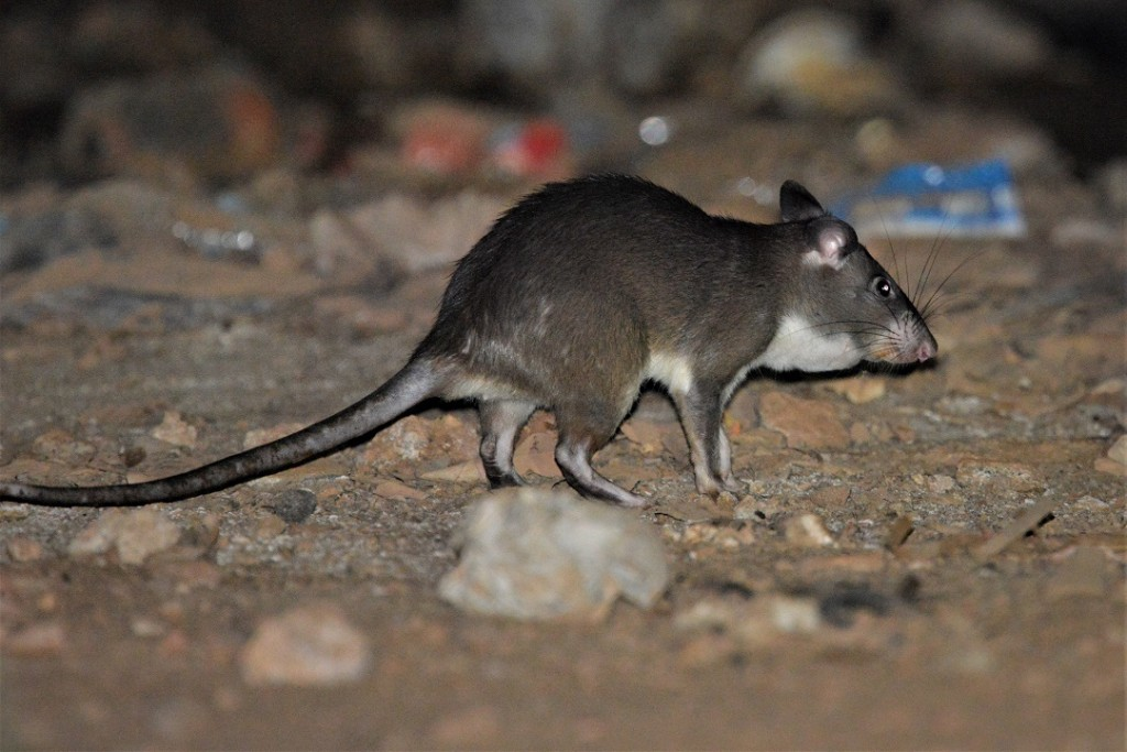 Giant Pouched Rat