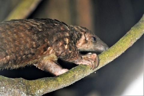 New Trip Report: Ghana (including 2 Pangolin species)