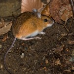 Woodland-Jumping-Mouse-2-2