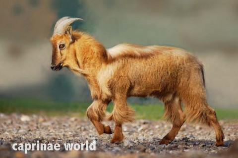 Infos and pics on Arabian Tahr