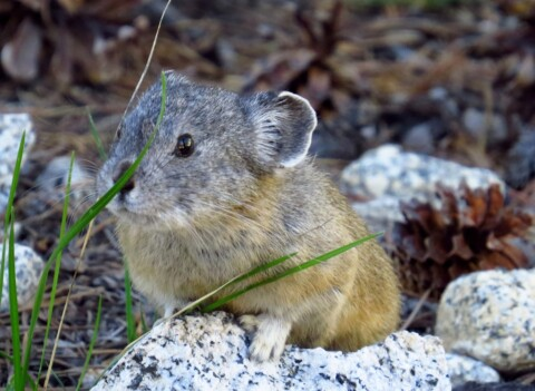 where is the best easy trail to find pikas in California?