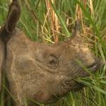 IndianOne-hornedRhino-Nepal5