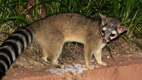 Update on Ringtail at Santa Rita Lodge, Arizona