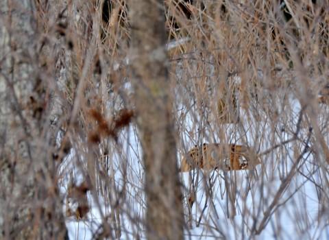 Siberian Tiger & Amur Leopard Tour Available for 2019