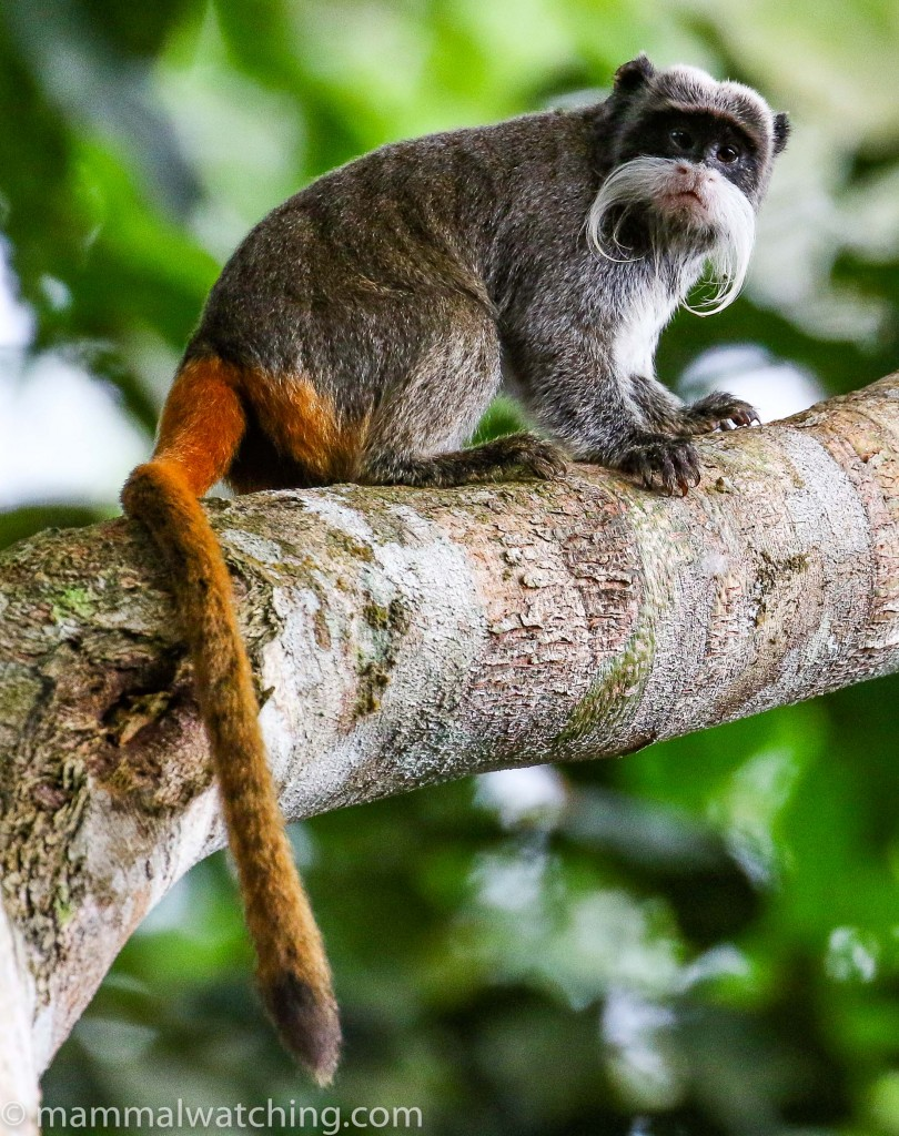 Primarily Peruvian Primates: Owlet Lodge and Los Amigos Research Station Trip Report