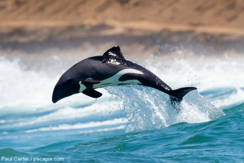 Haviside's Dolphin and Brants' Whistling Rat at Strandfontein (South Africa)