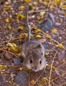 2021-Desert Pocket Mouse (Chaetodipus penicillatus)-1