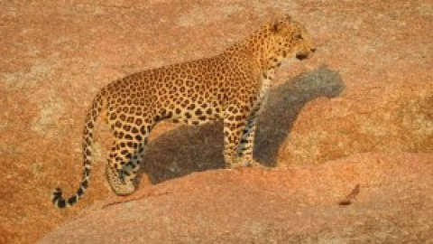 Trip Report by Asian Adventures Birding Guide Deepak Kumar – Rajasthan Leopard Tour