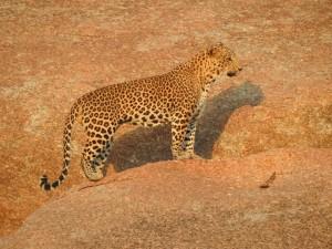 Trip Report by Asian Adventures Birding Guide Deepak Kumar - Rajasthan Leopard Tour