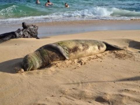 Hawaiian Monk Seal on Kauai