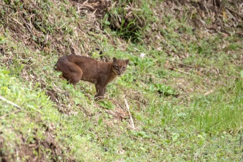 African Golden Cat sighting from 2017: Bwindi, Uganda