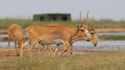 Saiga Trip, September 2019: Wild Saiga Antelope Watching and Photography