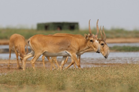 Saiga Trip, September 2019: Wild Saiga Antelope Watching and Photography