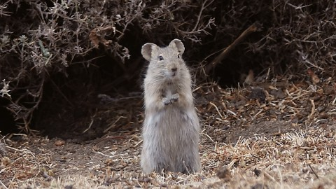 Rodents from Ethiopia – request for id help.