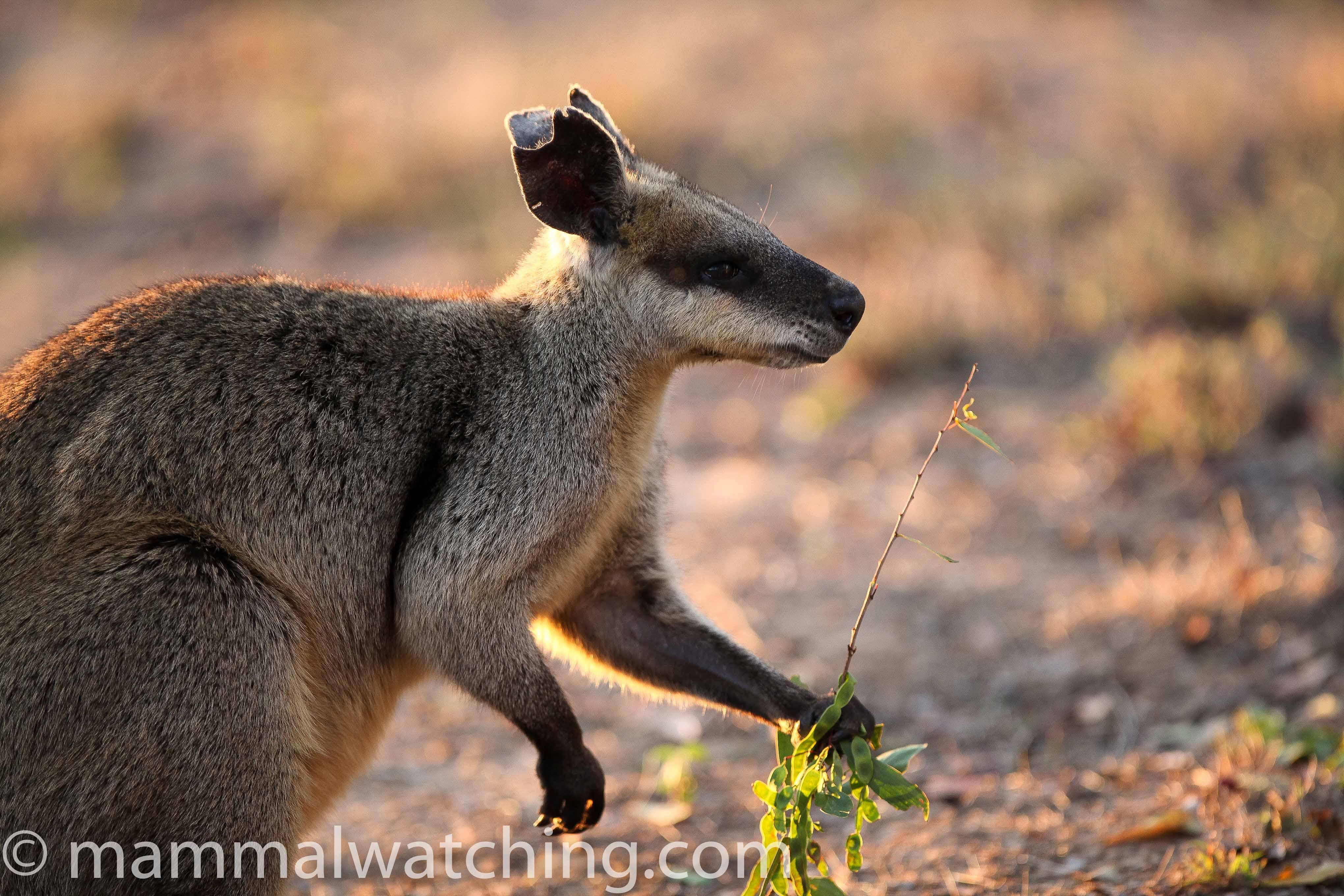 Queensland Mammal Watching