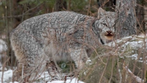 The Missing Lynx, Minnesota 2017