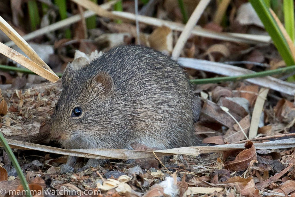 Arizona-Cotton-Rat, Sigmodon arizonae