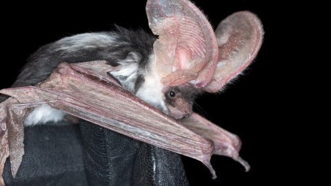 Searching for a Spotted Bat: Northern Arizona