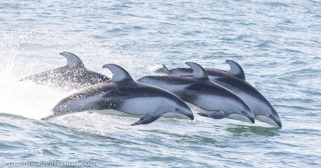 Pacific White-sided Dolphins. Lagenorhynchus obliquidens