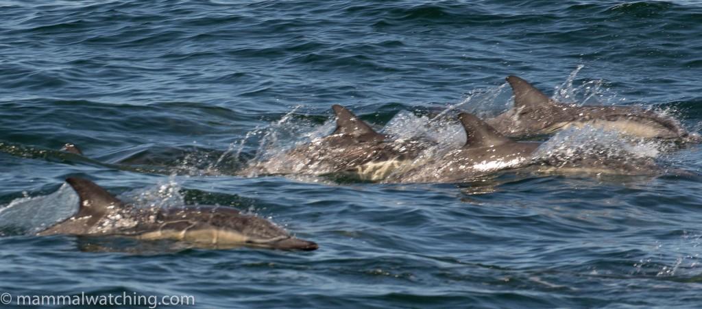 2017-long-beaked-common-dolphin-Delphinus-capensis