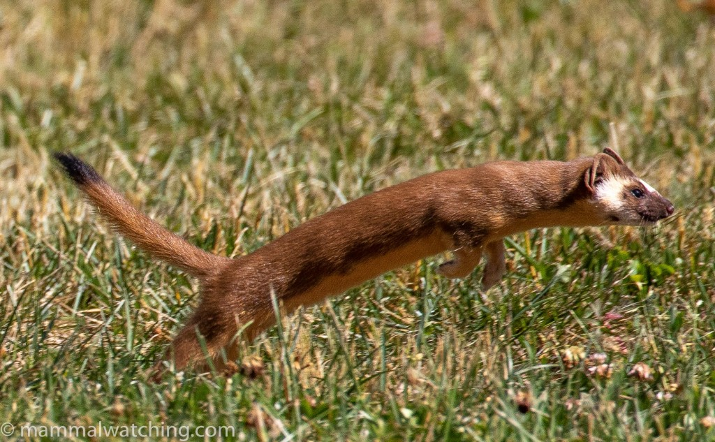 Western Weasels (and a few other things): California and Oregon