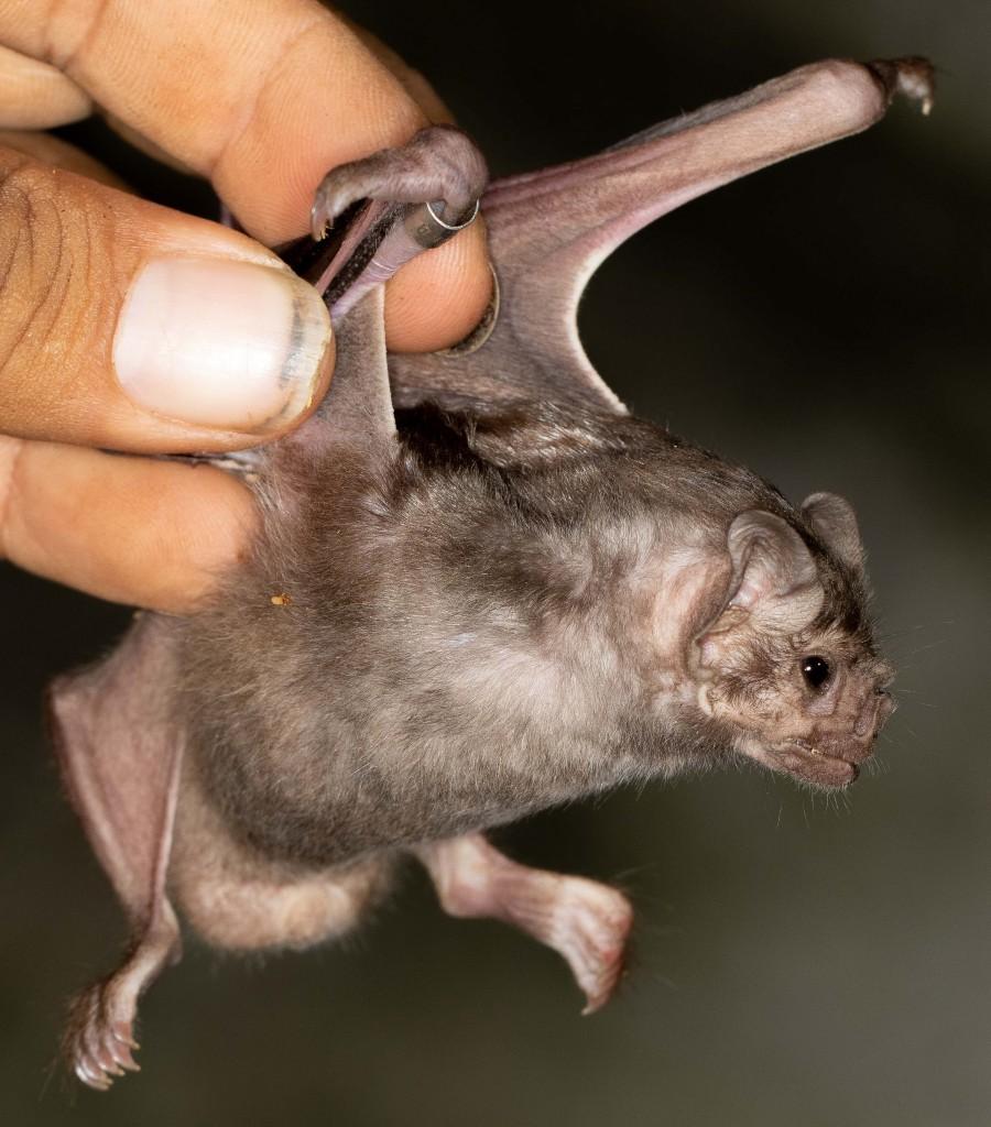 Tabasco Batting