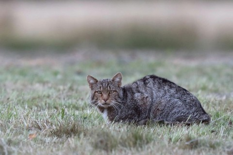 Wildcats in the Picos de Europa, Spain