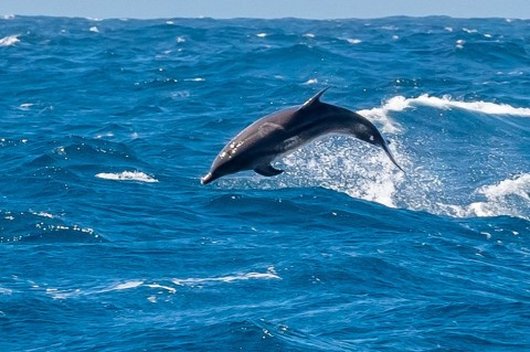 Cape Verde Dolphin ID help