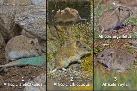 4 Alticolas / Mountain Voles of Ladakh