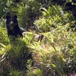 Andean Bear - Ecuador (3) (FB)