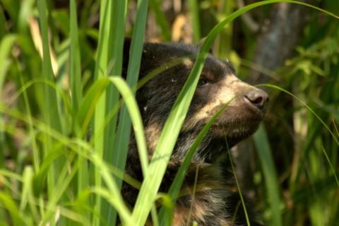 Advertising: Andean Rare Mammals, Ecuadorean Andes. Join for Nov 2019