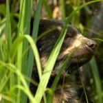 Andean Bear - Peru (3) (FB)