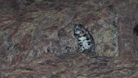 Andean Mountain Cat in Chile, Ecuador Photos