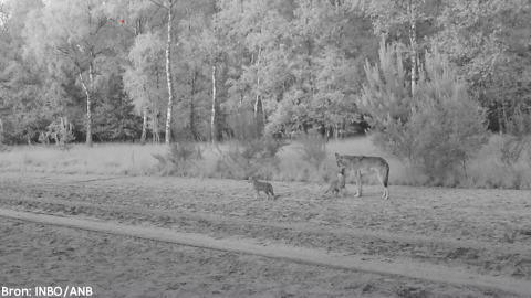 Wolves in Belgium (from @natuurenbos)