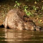 Beaver Noses No Tag old logo