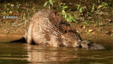 Beavers, Buntings & Cream Teas!