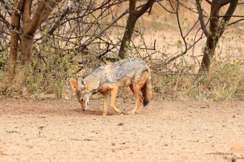 Need ID for a jackal from Ethiopia
