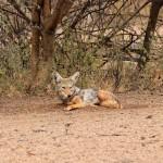 Canis lupaster or Lupulella mesomelas 201128_2