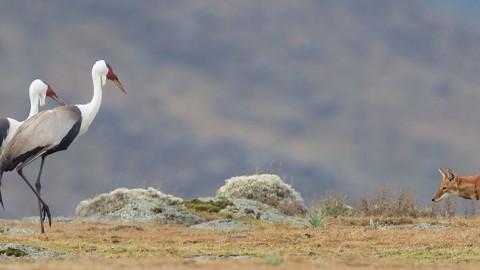 New Trip Report: Ethiopian Highlands 2018