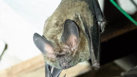 Bat ID Pantanal