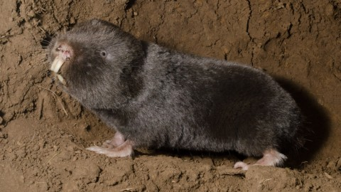 South Africa mammal watching – molerats and golden moles