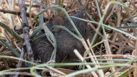 Kenya Rodent ID Help