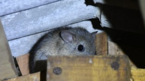 Help with rodent ID – Paraguay