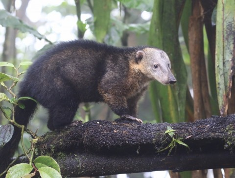 A reliable place for Western mountain coati (Nasuella olivacea quitensis) near Mindo, Ecuador.