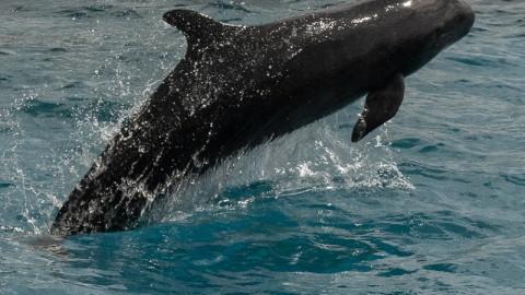 Pygmy killer whales