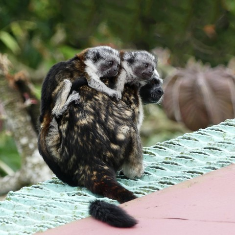 The Canopy Tower & Lodge: Tamarin Tour – A mammal and birding adventure