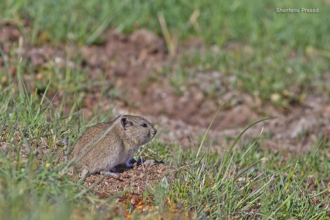Another Mountain Vole ID please..