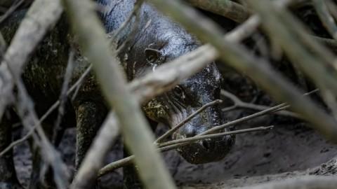 Advertising: Pygmy Hippo Pursuit, Cote D'Ivoire, April 2022